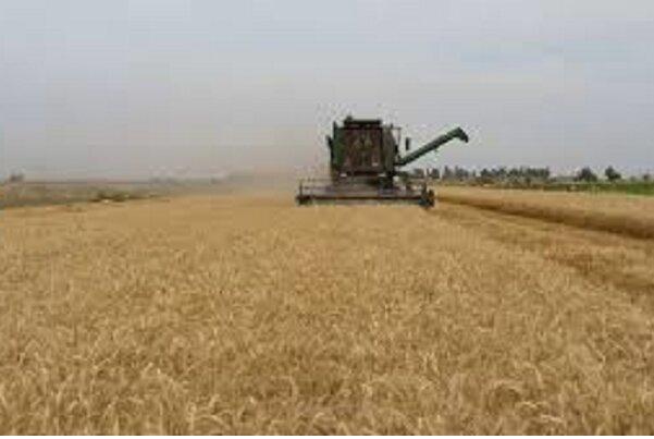 تولید گندم در استان بوشهر چهار برابر شد