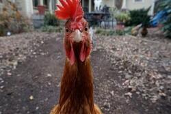 Tavuklar, kümeslerinde kilitli kalan tilkiyi birlik olup öldürdü!