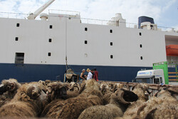 Iran's Chabahar Port unloads first livestock carrier