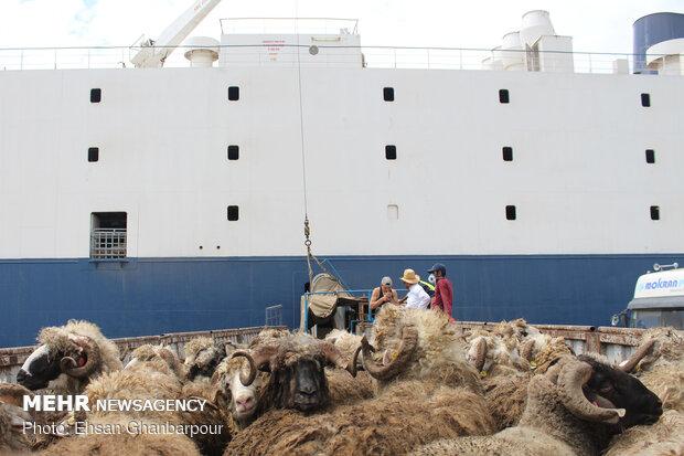 ورود نخستین محموله دام زنده توسط کشتی
