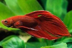 جریمه ۹ میلیون ریالی صید ماهی خال قرمز برای صیاد آملی