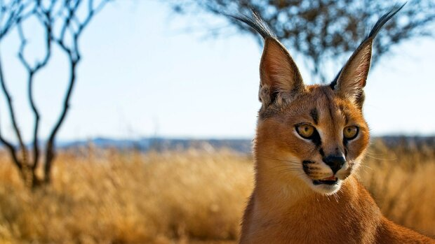 Injured Caracal survived death in southern Iran
