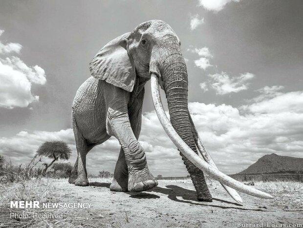 فیل های در معرض انقراض کنیا