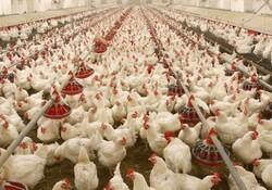 کشف بیش از ۴ هزار قطعه مرغ قاچاق در شهرستان فامنین