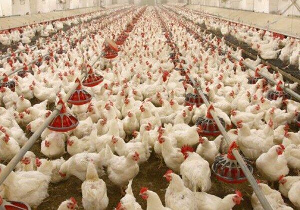 افزایش ۱۰۰۰ تومانی قیمت مرغ / گرمای هوا مرغها را لاغر کرد