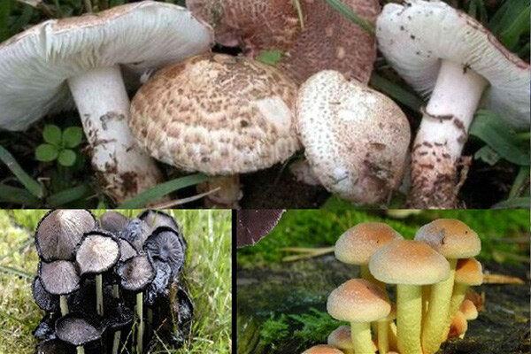 شناسایی ۳۰۰۰ نوع قارچ در ایران