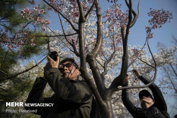 شکوفه های بهاری در نقاط مختلف جهان