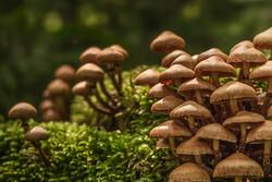 دستیابی به دانش فنی تولید پروبیوتیک گیاهی با سویههای بومی قارچ