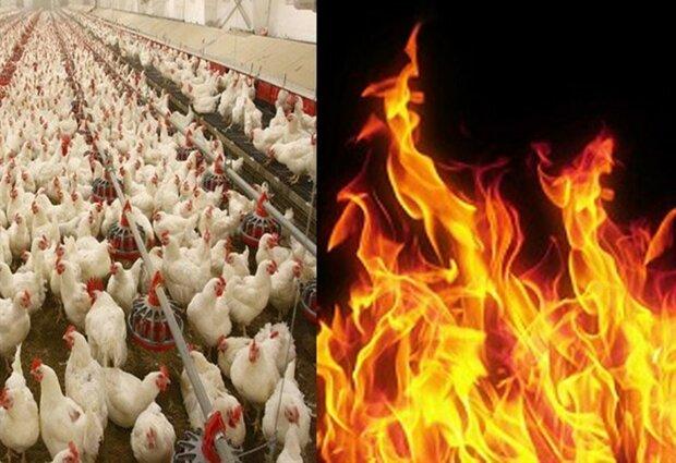 آتشسوزی یک واحد مرغداری در کنگاور بر اثر صاعقه
