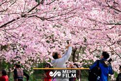 جلوههای زیبای بهاری در چین با شکوفههای درختان