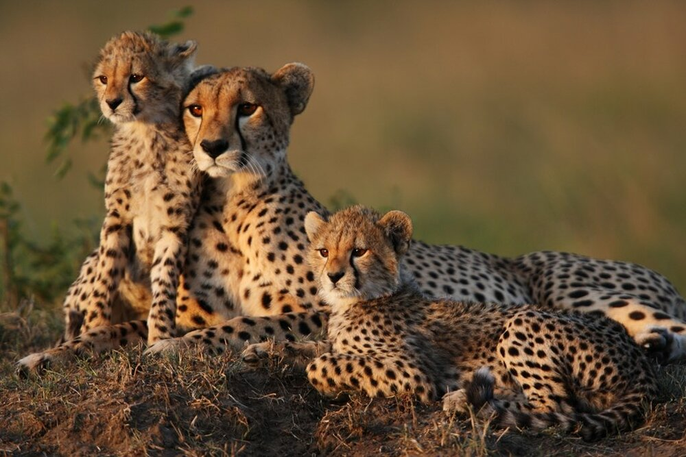 Asiatic cheetah, Persian leopards observed in north central
