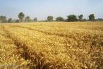 طرح ایمن سازی مزارع کشاورزی اجرا می شود