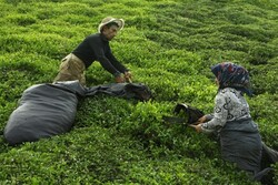 قیمت خرید تضمینی چای افزایش یافت