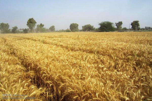 مبارزه با آفت سن غلات در ۹۲ هزار هکتار از مزارع آذربایجان غربی