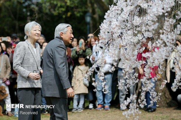 Japonya'da kiraz ağaçları çiçek açtı