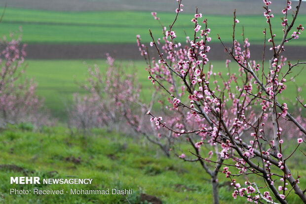 Spring blossoms in Bobby Kandi village in NW Iran