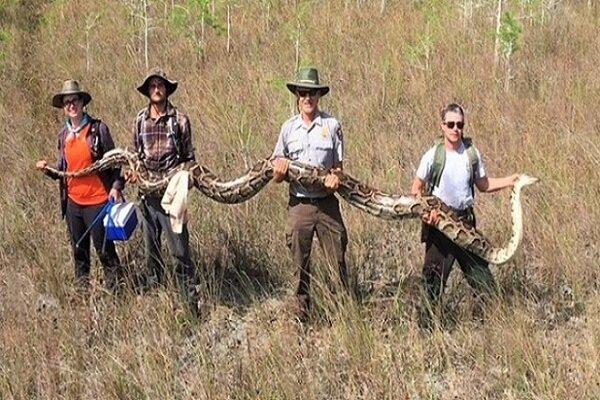 5,2 metre uzunluğunda piton yakalandı