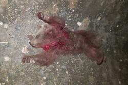 تصادف با خودرو علت مرگ خرس قهوهای در مهدیشهر/ راننده متواری است