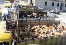 برخورد جدی با قاچاق دام در استان ایلام