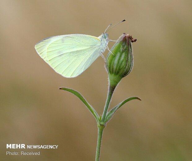 سرشماری پروانه ها در انگلیس