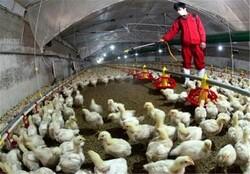 تخم مرغهای محلی و مرغ های غیربسته بندی نخرید