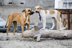 هفتهای ۴۰ سگ در فردیس عقیم میشود / انجام واکسیناسیون