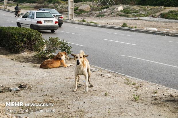 جولان سگهای ولگرد در پلدختر/ ۳ نمونه مثبت بیماری هاری گزارش شد