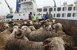 قیمت فروش گوسفند زنده ۱۵۰ درصد رشد کرد