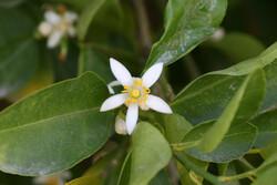 آغاز گلدهی باغات مرکبات در هشت بندی هرمزگان