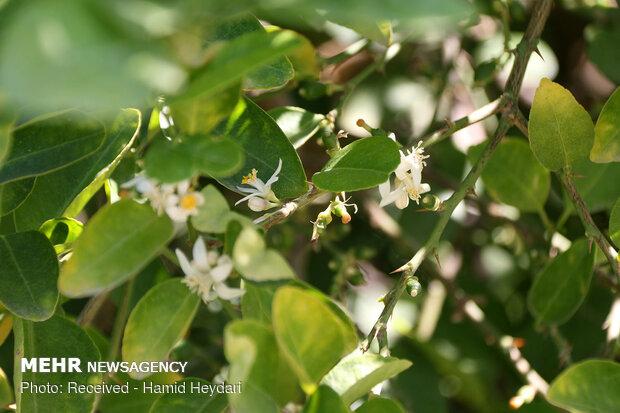 İran'da portakal ağaçları çiçek açtı
