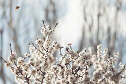 """عطر الربيع في سهول """"همدان"""" / صور"""