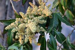 Hürmüzgan'da mango ağaçları çiçek açtı