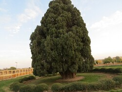 The story of 4000-year-old cypress in Abarkouh