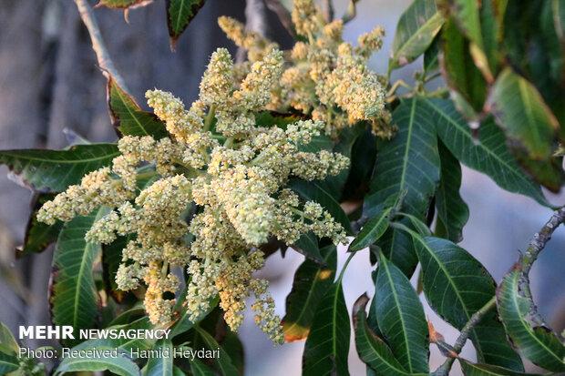 mango ağaçı