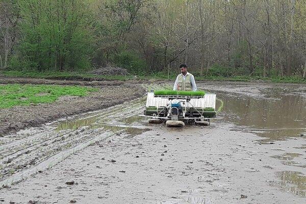تولید مکانیزه برنج راهکاری برای کاهش هزینه ها است