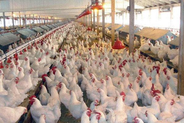 افزایش ۷۹ درصدی تورم تولیدکننده مرغداری های کشور