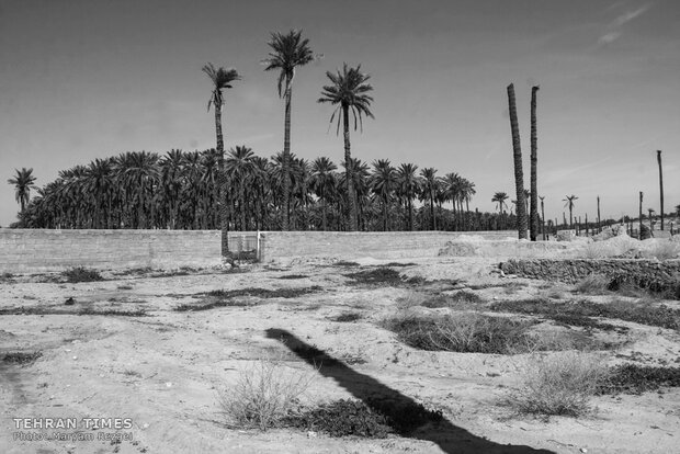 Water shortage in southern Iran: palm trees cut off at the trunk
