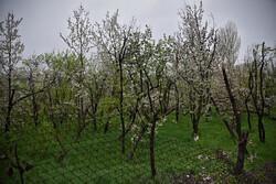 بارش باران در استان قزوین / باغداران مراقب سرمازدگی باشند