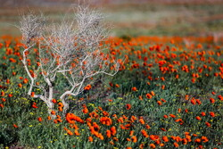 Fields of wild poppy flowers in Qom