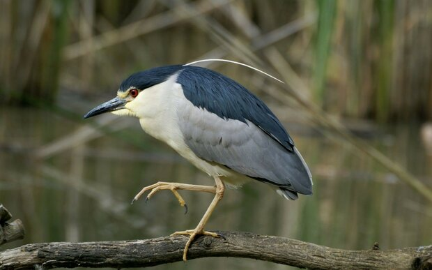 Night herons spotted in western Iran