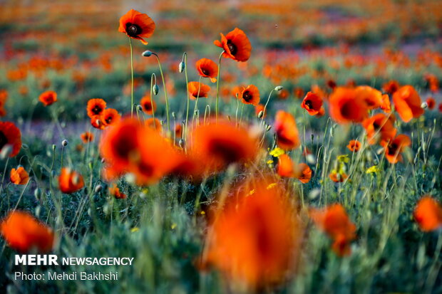 VIDEO: Fields of wild poppy flowers in Qom
