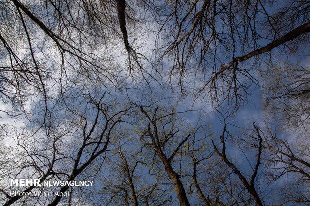 زخم تبر بر تن درختان ارسباران