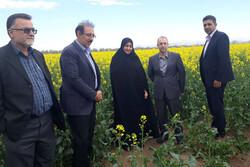 ۷۵۰۰ هکتار از اراضی کشاورزی استان قزوین به زیر کشت کلزا رفت