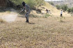 هجوم ملخها به بخش عمده عرصههای مرتعی و جنگلی استان بوشهر