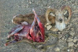 کشف لاشه قوچ وحشی در منطقه شیربند دامغان/ متخلفان متواری هستند