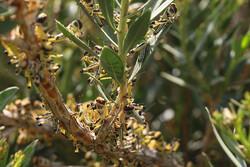ملخهای صحرایی آبانماه وارد کشور میشوند / خرید سم؛ بزرگترین دغدغه