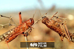 VIDEO:Swarm of locusts attack southern Iran