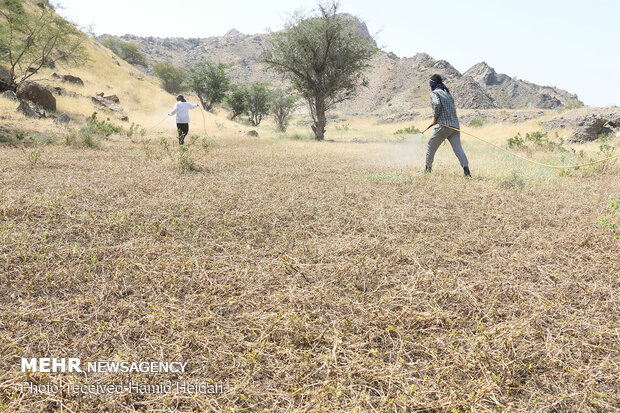 Swarm of locusts attack south Iran