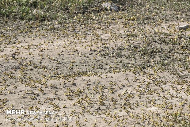 FAO investigating locust breakout in Iran