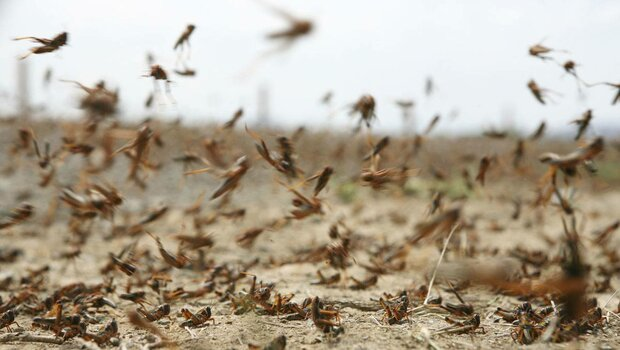 Locusts threaten 300,000 ha of farming lands in Iran